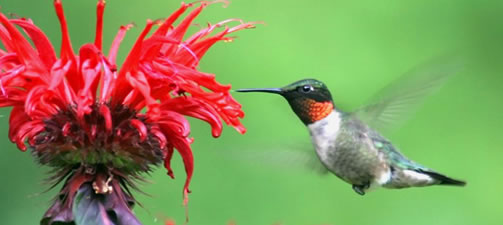 Hummingbird Garden Design and Planting Tips